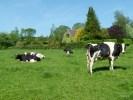 Ирландские коровы дают 45 кг молока в сутки