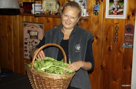 На даче неожиданно созрел урожай зеленой фасоли