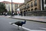 Павлин гуляет по центру  Овьедо. Астурия