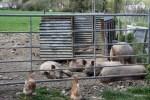 Курам и свиньям вольготно живется в поместье Баллималое