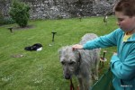 Этот добрейший пес ростом с пони - ирландский волкодав