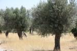 Оливковые рощи на греческом Самосе