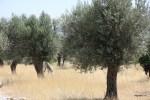 Основа кухни на Самосе - местное оливковое масло