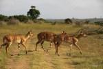 Антилопы иньяла на закате