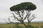 Дерево обглодали жирафы