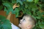 Так вот какой южноафриканский виноград!