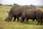 Носороги пасутся в заповеднике Карьега, провинция Восточный Кейп, ЮАР