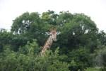 Из-за кустов на нас внимательно смотрел жираф