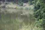 Бегемот предпочитает проводить время под водой