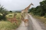 Оценить размеры жирафа можно только в сранении: например, с антилопами импала