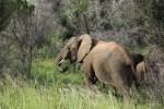 Так ест взрослый слон
