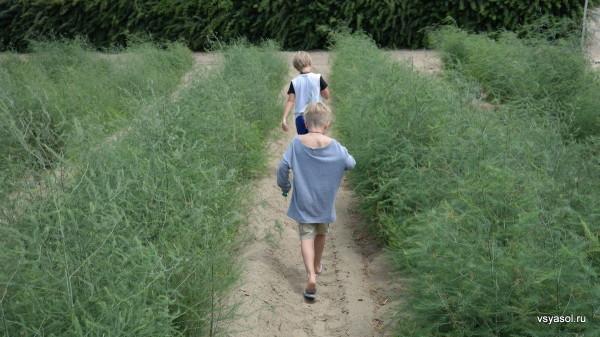 Мои внуки отправились осматривать поля спаржи
