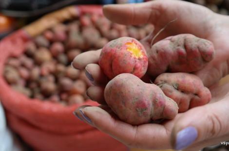 Розовая снаружи, якро-желтая внутри: один из десятков сортов перуанского картофеля