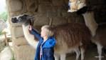 Ламы во времена инков служили вьючными животными, переносившими все грузы в Мачу-Пикчу