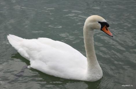 Лебеди ощущают себя полновластными хозяевами озера Леман