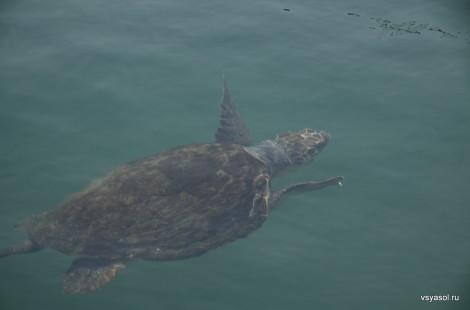 Морская черепаха в порту Ханьи, Крит