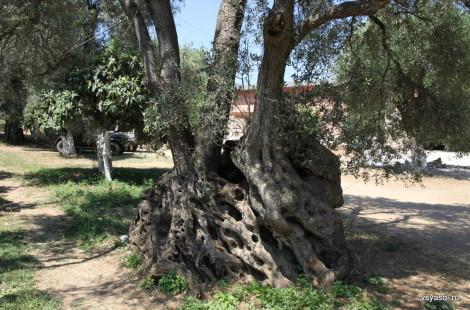 Этому оливковому дереву у подножья Белых гор на Крите 1200 лет