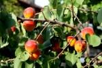 Греческие абрикосы