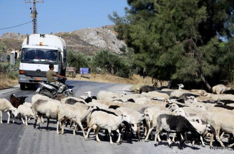 Стадо овец во главе с пастухом-мотоциклистом переходит дорогу