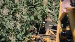 Комбайн ровно срезает стебли кукурузы