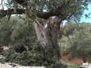 Это дерево посадили еще до изгнания мавров с Майорки