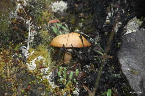На склоне вулкана Бару растут вполне съедобные грибы