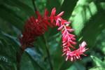 Цветок в джунглях острова Бастиментос