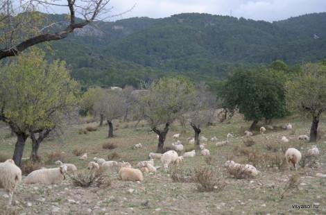 Авцы пасутся в горах Трамунтаны. Майорка