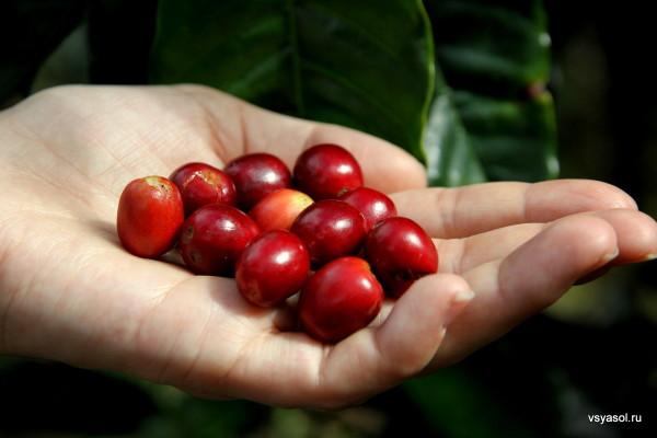 Спелые ягоды кофе