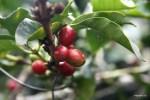 Ягоды кофе наливаются спелостью