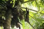 Ленивец потягивается на пальме. Остров Бастиментос, Бокас дель Торо