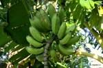 Такой спелости бананы отправляют с плантаций за океан. Панама