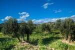 Оливковые плантации Moulin Castelas. Фото: Анатолий Мирюк