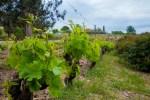 На виноградниках Бандоль