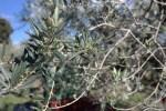 Из таких бутонов появятся белые цветки, 10% которых дадут оливки