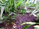 Имбирь в оранжерее Центра посетителей Fazer