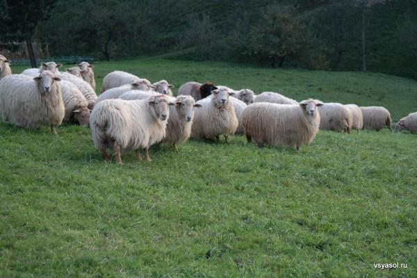 Баскская порода овец, из молока которых делают сыр Идиасабаль