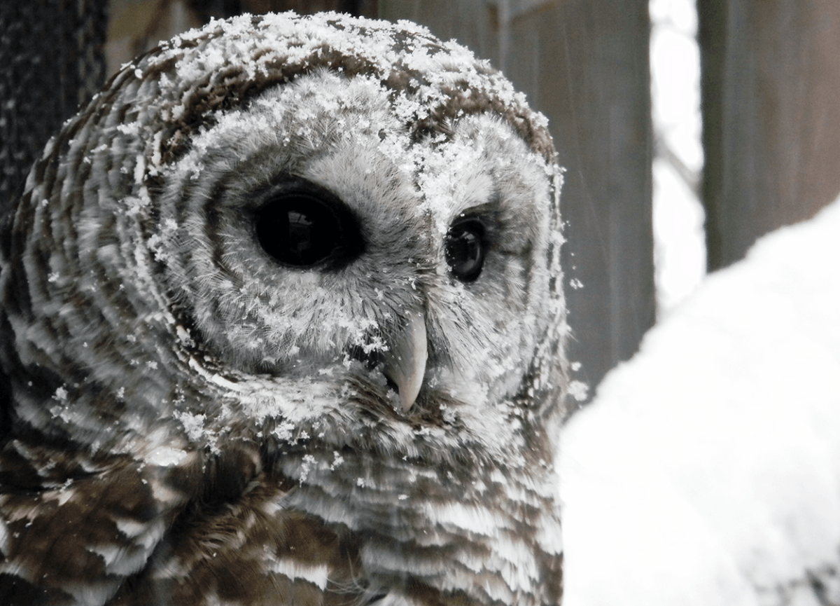 Image of Felix the owl with snow on his feathers