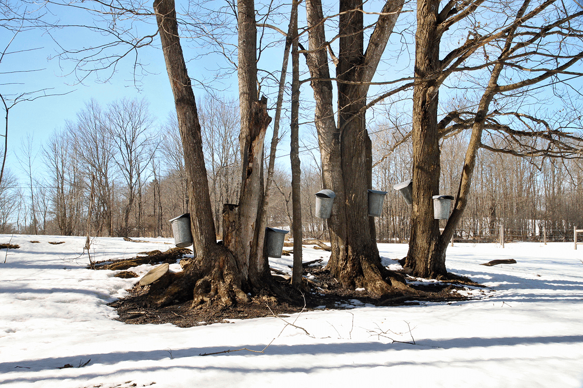 Image of sap buckets on maple trees at Bragg Farm Sugarhouse
