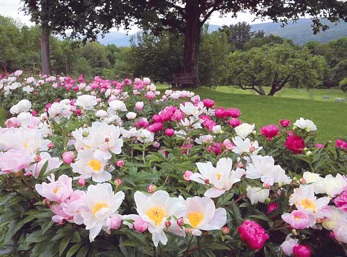 Image of pink and white peonies at Hildene, The Lincoln Family Home