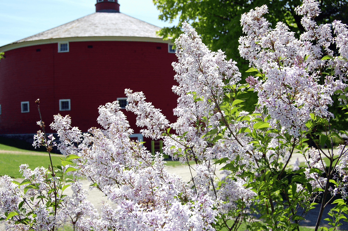 Image of Shelburne Museum lilacs round barn