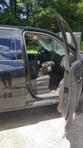 Black labrador dog sitting in a truck