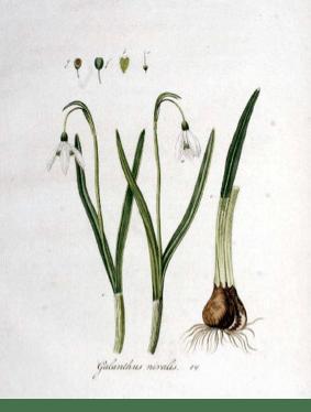 Galanthus nivalis L. Kops et al., J., Flora Batava, vol. 1: t. 14 (1800)