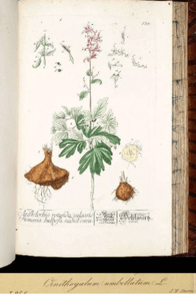 Corydalis solida (L.) Clairv. [as Fumaria bulbosa L.] Blackwell, E., Herbarium Blackwellianum, vol. 6: t. 534 (1773)