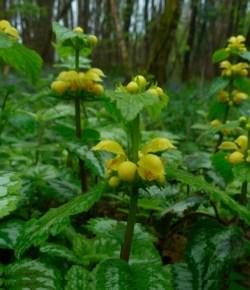Bonte gele dovenetel (Lamium galeobdolon subsp. argentatum)