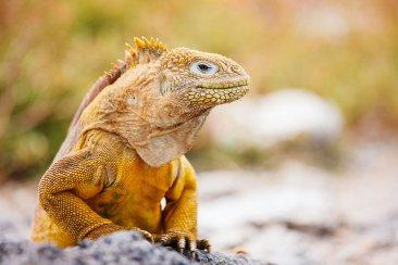 Iguana terrestre, Islas Galápagos, Ecuador