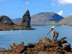 El pelícano pardo y al fondo la Roca Pináculo . Isla de Bartolomé , Galápagos