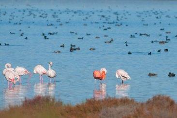 Delta del Ebro. Flamencos Foto: ©depositphotos/Iliuta