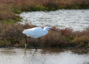 Garceta común en el delta del Ebro