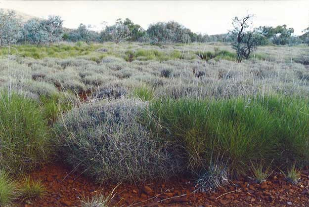 Triodia hummock grasslands